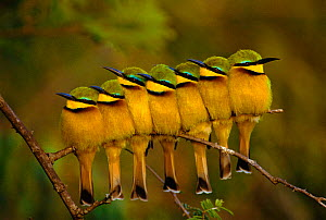 Seven Little bee-eaters perched in a row {Merops pusillus} Kenya - Peter Blackwell