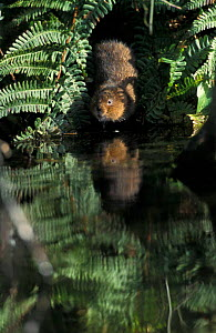 Water vole leaving canal side burrow entrance {Arvicola terrestris} Cromford canal, UK  -  Andrew Parkinson