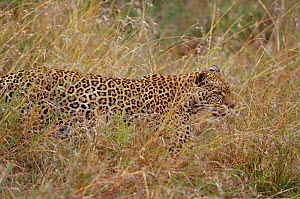 Leopard camouflaged in grass {Panthera pardus} Masai Mara, Kenya, East Africa - Brent Hedges
