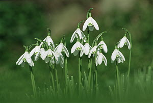 Snowdrops flowering {Galanthus nivalis} Cornwall, UK - Ross Hoddinott