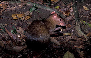 Central american agouti {Dasyprocta punctata} feeds on {Dipteryx} seeds, Panama, Barro - Mike Potts