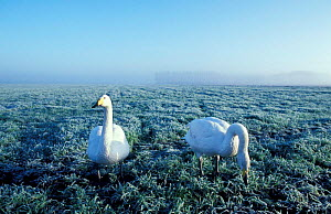 Whooper swans feeding on winter wheat {Cygnus cygnus} Ouse washes, Cambridgeshire, UK  -  Mike Potts