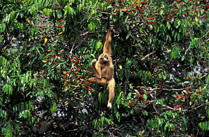 White handed gibbon, alpha male in fig tree {Hylobates lar} Khao Yai NP, Thailand, tropical  -  Justine Evans