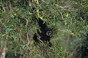 White handed gibbon (Hylobates lar) alpha male feeding in fig tree in tropical rainforest, Khao NP, Thailand  -  Justine Evans