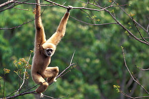 White handed gibbon, alpha male hanging in tree {Hylobates lar} Khao Yai NP, Thailand 'Cassius'  -  Justine Evans