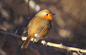 Robin, feathers fluffed up for warmth {Erithacus rubecula} UK - Colin Varndell