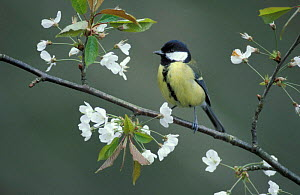 Great tit amongst blossom {Parus major} UK. Not available for Greetings Cards or Notelets until October 2016  -  Colin Varndell