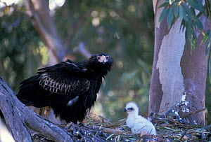 Wedge tailed eagle female at nest with chick {Aquila audax} Central Australia - Dave Watts