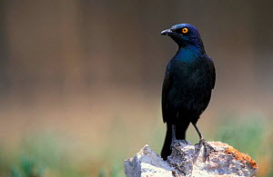 Red shouldered (cape) glossy starling {Lamprotornis nitens} Etosha NP, Namibia  -  Andrew Parkinson