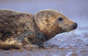 Grey seal female caught in fishing net {Halichoerus grypus} Lincolnshire, UK  -  Andrew Parkinson