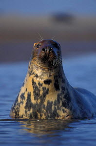 Grey seal female portrait {Halichoerus grypus} Lincolnshire, UK  -  Andrew Parkinson