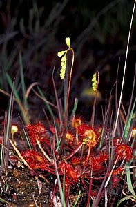 Common sundew {Drosera rotundifolia} Dorset, UK - David Shale
