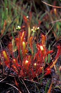 Long leaved sundew plant with flowers {Drosera intermedia} Dorset, UK - David Shale