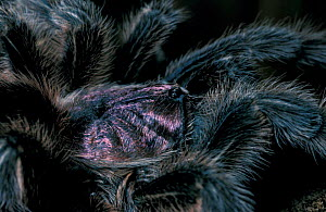 Chilean rose tarantula, close-up {Grammostola spatulatus}  -  David Shale