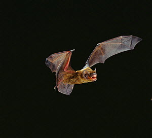 Leisler's bat flying {Nyctalus leisleri} Germany  -  Dietmar Nill