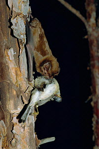 Greater noctule bat feeding on bird {Nyctalus lasiopterus} Greece - Dietmar Nill