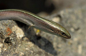 Three toed skink {Chalcides chalcide} Germany  -  Dietmar Nill