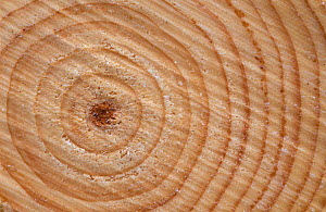 Growth rings in trunk of Spruce tree {Picea sp} Norway  -  Pete Cairns
