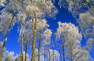 Silver birch trees coated in hoar frost {Betula verrucosa} Strathspey, Scotland, UK - Pete Cairns
