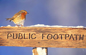 Robin perched on footpath sign in winter {Erithacus rubecula} Scotland, UK - Pete Cairns