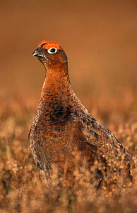 Red grouse male {Lagopus lagopus scoticus} Scotland, UK  -  Pete Cairns