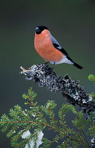 Bullfinch male perched {Pyrrhula pyrrhula} Norway  -  Pete Cairns