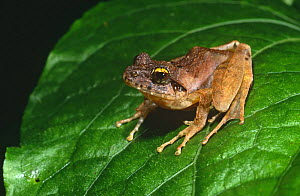 Tree frog {Boophis tephraeomystax}, Montagne D'Ambre NP, Madagascar - Pete Oxford