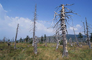 Trees killed by industrial pollution from Poland, Kronkose NP, Czech Republic - Paul Johnson
