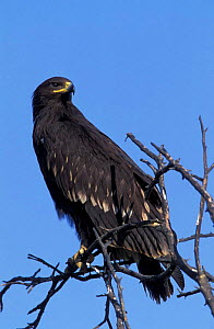 Greater spotted eagle perched {Aquila clanga} Oman - Hanne & Jens Eriksen