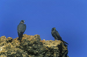 Sooty falcon {Falco concolor} juvenile and adult perched on rock, Oman - Hanne & Jens Eriksen