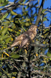 Mistle thrush {Turdus viscivorus} amongst Mistletoe in Apple tree. UK  -  WILLIAM OSBORN