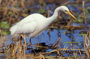 Intermediate egret {Egretta intermedia} in wetlands, non-breeding plumage, Queensland, Australia - WILLIAM OSBORN