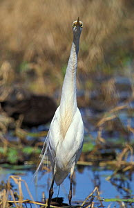 Intermediate egret {Egretta intermedia} in wetlands in non breeding plumage, Queensland, Australia - WILLIAM OSBORN