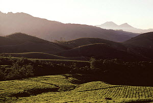 Tea plantations in the hills near Munnar (Tetley tea), High range Western Ghats, Kaerala, India  -  Ian Lockwood