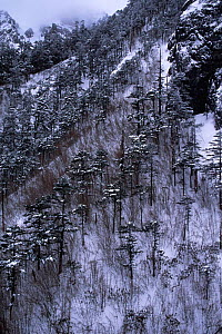 Hillside with Yunnan pines {Pinus yunnanensis} and bamboo in snow, Lijiang, Yunnan, China  -  Pete Oxford