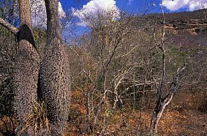 Typical tree on the Caatinga - thorns and swollen trunk for water storage, NE Brazil  -  Pete Oxford