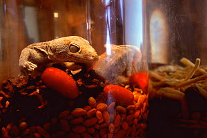 Tockay gecko in glass jar (medicinal use) {Gekko gecko} Yunnan province, China - Pete Oxford