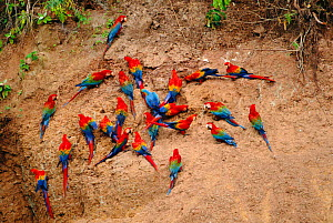 Three species of Macaw on clay lick. Red & Green macaw, Scarlet macaw and Blue & Yellow macaw {Ara Chloroptera, Ara Macao, Ara araraunaon}  Timpia clay lick, Urubamba River. Amazon Rainforest, Peru. S...  -  Pete Oxford