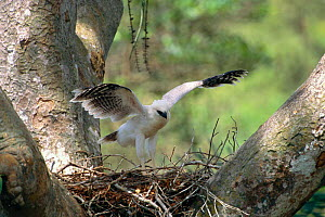 Crested eagle chick on nest exercising wings {Morphnus guianensis}  Amazon rainforest. Peru, South America. - Pete Oxford