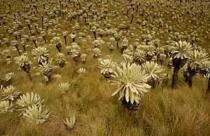 Frailejones (Espeletia) and tourist. {Espeletia pycnophylla} tall plants {Espeletia sp.} short plants). El Angel Ecological Reserve, 3700 m above sea level. Paramo habitat. Andes, NE Ecuador. Plants e... - Pete Oxford