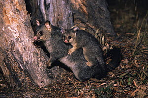 Common brushtail possum mother carrying young {Trichosurus vulpecula} Grampians, Victoria, Australia - Steven David Miller