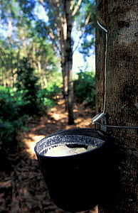 Rubber tapping, East coast, Brazil  -  Pete Oxford