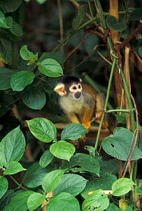 Common squirrel monkey {Saimiri sciureus} Manu NP, Amazonia, Per  -  Pete Oxford