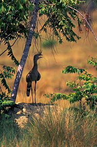 Red legged seriema standing on termite mound singing {Cariama cristata} Piaui state, NE Brazil  -  Pete Oxford