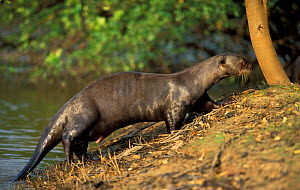 Giant otter female coming out of water {Pteronura brasiliensis} Pantanal, Brazil - Hermann Brehm