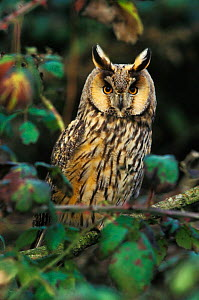 Long eared owl {Asio otus} UK  -  David Kjaer