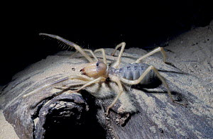 Egyptian giant solifugid / Camel spider {Galeodes arabs} United Arab Emirates  -  David Shale