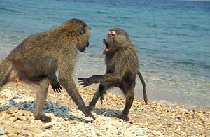 Olive baboon juveniles play fighting on beach {Papio anubis} Tanzania - John Waters