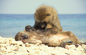 Olive baboons grooming on beach {Papio anubis} Tanzania - John Waters