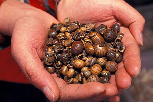 Dried pill bugs / Woodlice for medicinal use, Yunnan, China - Pete Oxford